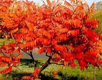 Сумах пушистый оленерогий / Уксусное дерево 30-40 см