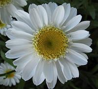 Нивяник (ромашка садовая) Sunny Side Up