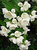 Чубушник обыкновенный, садовый жасмин 30-40 см