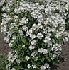 Чубушник обыкновенный, садовый жасмин 40-70 см, 3-4 летние