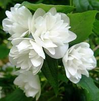 Чубушник махровый (жасмин махровый), 10-15 см, р9, 1-летние, фото 1