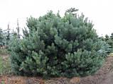 Сосна обыкновенная Ватерери С5 ( Pinus Sylvestris Watereri ), фото 3