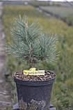 Сосна обыкновенная Ватерери С5 ( Pinus Sylvestris Watereri ), фото 5