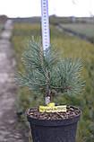 Сосна обыкновенная Ватерери С5 ( Pinus Sylvestris Watereri ), фото 6