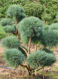 Сосна обыкновенная Ватерери С5 ( Pinus Sylvestris Watereri ), фото 2