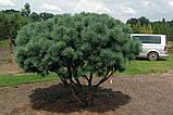 Сосна обыкновенная Ватерери С5 ( Pinus Sylvestris Watereri ), фото 4