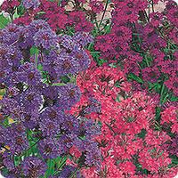 Вербена Леди Мечта,многол., цвет. до заморозков, душистые цветки.