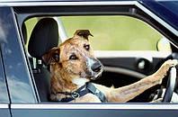 Внимание! За рулем автомобиля четвероногий друг.
