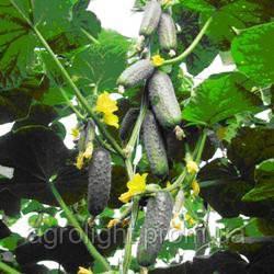 Огурец Чайковский F1, 10 семян, самоопыляемый Купить