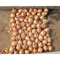 Ибис F1 семена лука репчатого озимого среднеранний (Hazera) 250000 шт