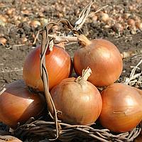 Стартер F1 семена лука репчатого (Hazera)
