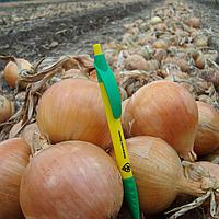 Дормо F1 семена лука репчатого среднего (Hazera)