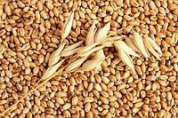 Почему украинская пшеница дорожает?