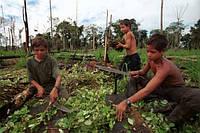 Фермерам Колумбии будут платить 350 долларов в месяц за уничтожение урожаев коки