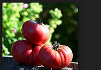 """Семена томатов """"Медвежья Лапа розовая"""" 50 грамм купить оптом от производителя в Украине"""