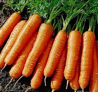 """Семена моркови оптом """"Амстердамская"""" 25 килограмм в мешке купить оптом от производителя в Украине 7 километр"""