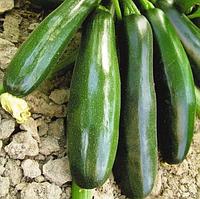 "Семена кабачка цуккини оптом ""Скворушка"" 10 килограмм купить оптом от производителя в Украине 7 километр"