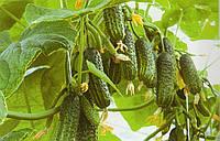 Огурец Эколь F1 10 семян, фото 1
