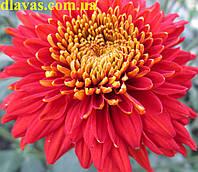 Купить хризантему черенок Экспорт Пот (РАННЯЯ), фото 1