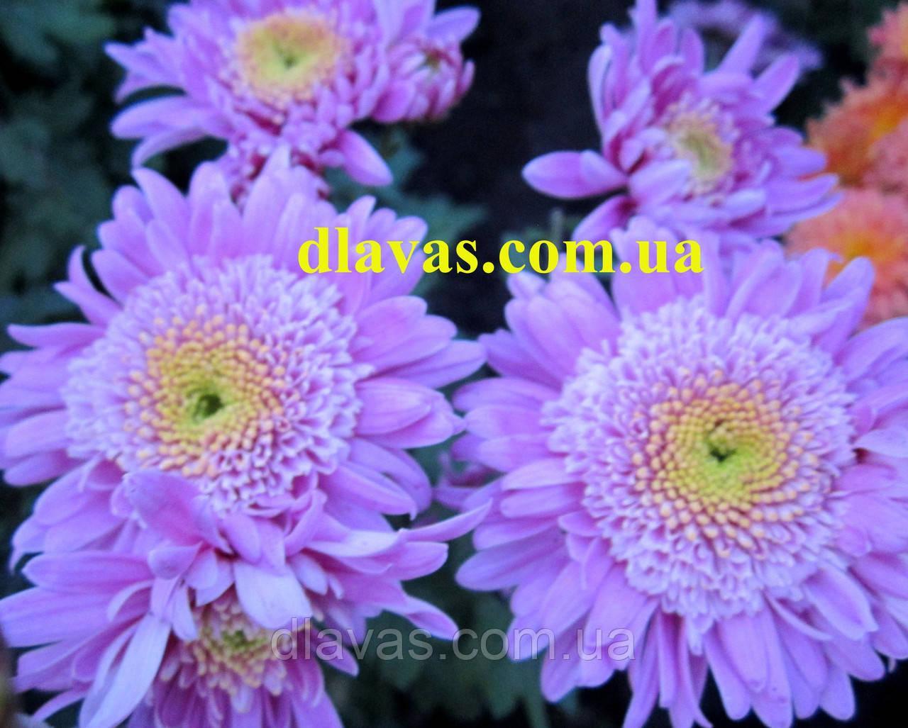 Хризантема корейская МЕТЕОРИТ