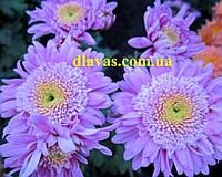 Хризантема корейская МЕТЕОРИТ, фото 1