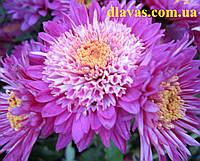 Купить хризантему черенок АНЕССИ, фото 1