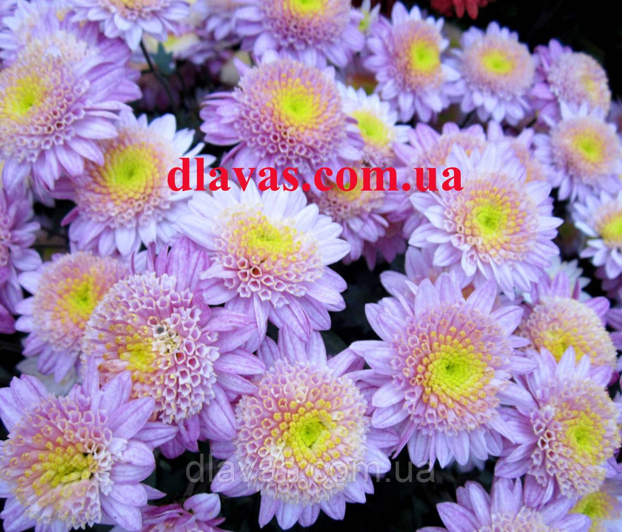 Хризантема черенок ВАНИЛЛА (маточник)