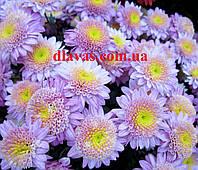 Хризантема черенок ВАНИЛЛА, фото 1