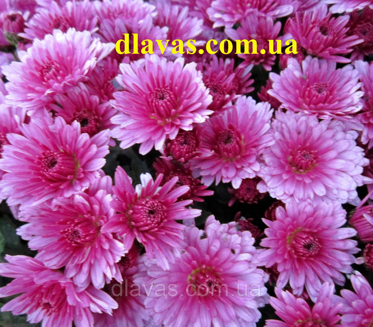 Хризантема  шаровидная ПАУЛОРО ЛИЛОВАЯ