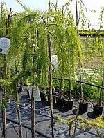 Лиственница европейская - Larix decidua Pendula (Pa 150см, горшок 15л)