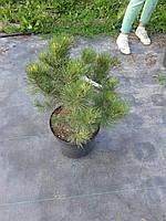 Сосна горная - Pinus mugo Sunshine (высота 25-35см, горшок 5л)