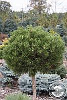 Сосна горная - Pinus mugo Hesse (Pa 100см, горшок 12л)