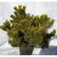 Сосна горная - Pinus mugo 'Winter Gold' (діаметр 30-40см, горшок 15л)