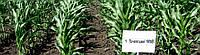 Семена кукурузы Почаевский 190 МВ (ФАО 190, фр. II, III)