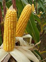 Семена кукурузы Оржиця (ФАО 230, фр. IV)