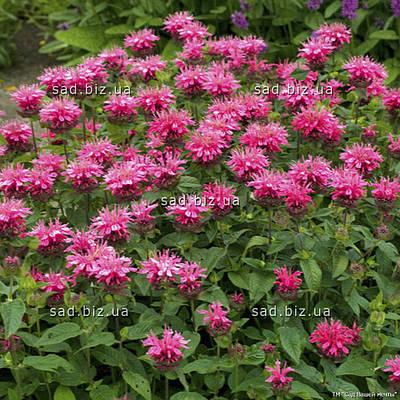 Монарда 'Pink Lace' в горшке 9х9х10 см