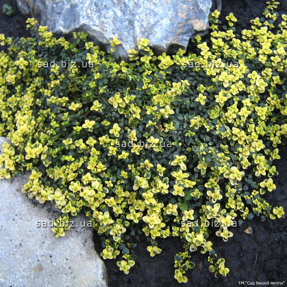 Тимьян лимоннопахнущий  'Doone Valley' в горшке 9х9х10 см
