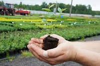 Размножение голубики садовой зелеными черенками, семенами, in-vitro.