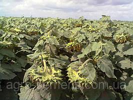 Семена подсолнечника Бонд (105-110 дн) толерантный к гранстару, фр.экстра (m1000= 64г. и более)
