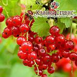 """Смородина красная """"Роднеус""""  полуупакованные, фото 2"""