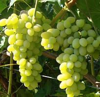 Виноград кишмиш Шарада