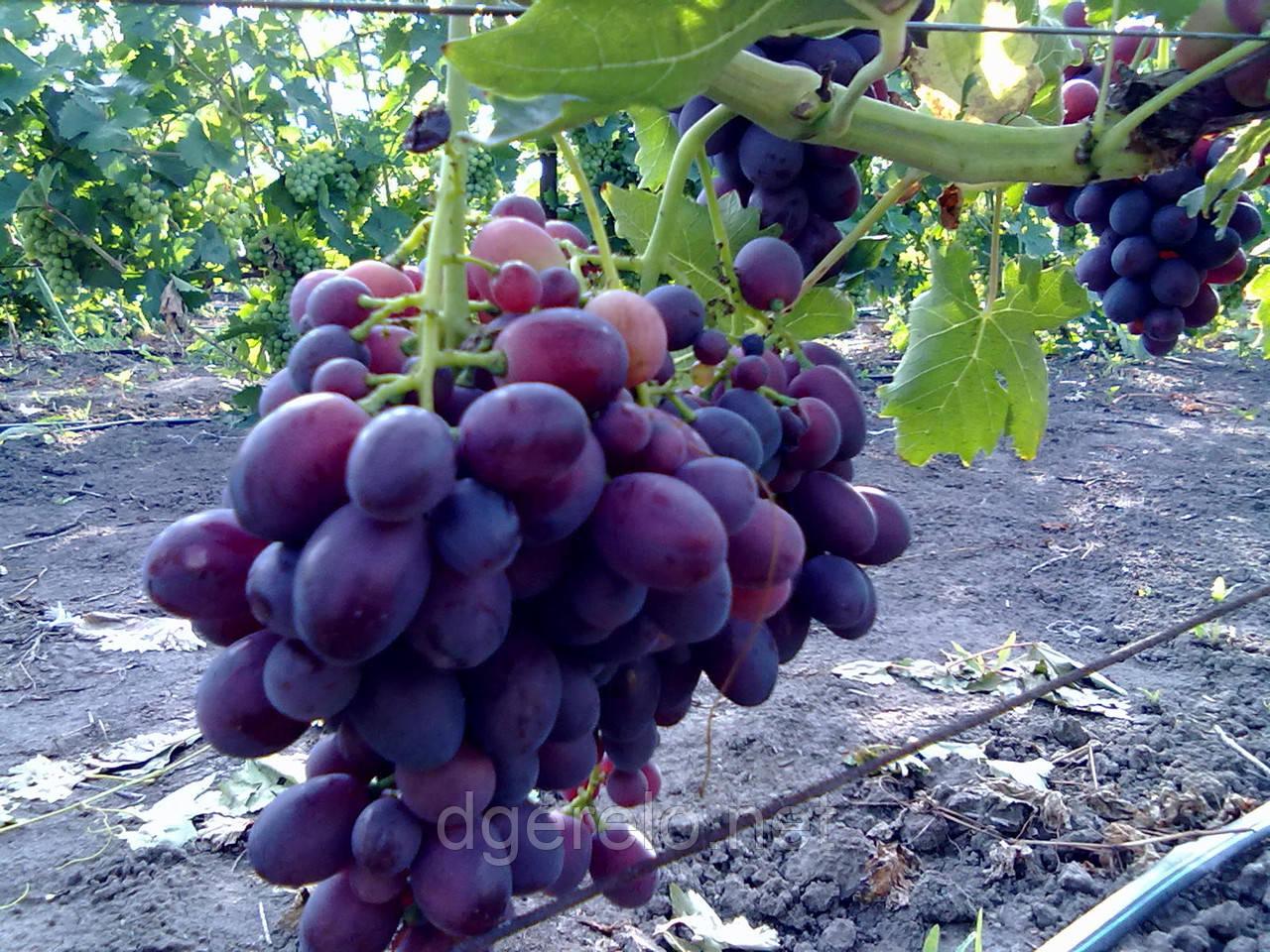 Виноград синий Византия