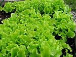 Как выбрать семена салата в интернет-магазине?