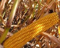 Семена кукурузы MAЇSADOUR Aмелиор (Amelior)