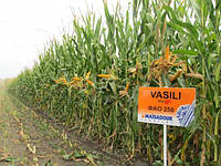 Семена кукурузы MAЇSADOUR ВАСИЛИЙ (VASILI)
