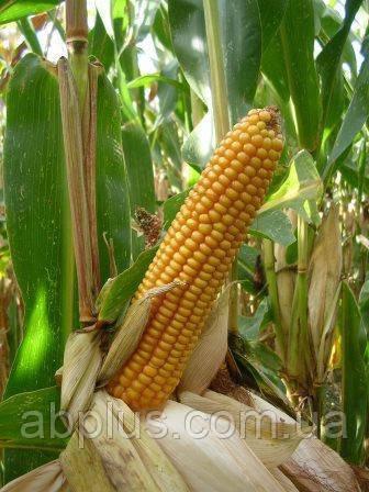 Семена кукурузы Mas 20.А