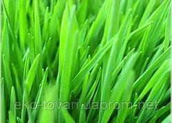 Ростки пшеницы – средство от всех болезней