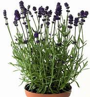 Лаванда узколистная Блу Сент Ерли / Lavandula angustifolia Blue Scent Early