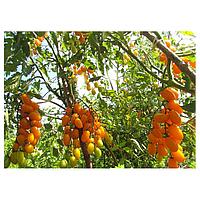 Золоті пальчики насіння томату напівдітей черрі жовтого (Елітний ряд)