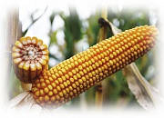 Гибрид кукурузы ЕС СИРИУС (ES CIRRIUS)